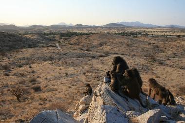 Ecologie et socialité chez les babouins chacma
