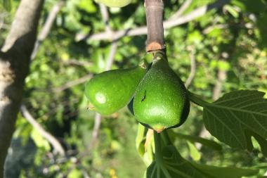 Communication chimique plantes-pollinisateurs