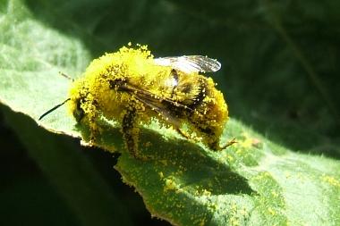 Communautés d'insectes pollinisateurs