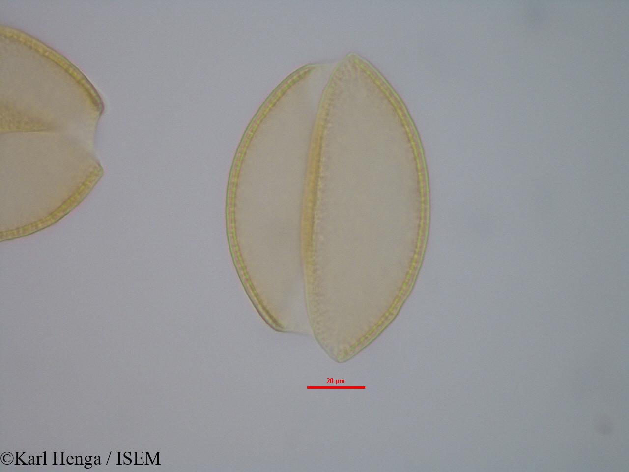 Karl.Henga/Dracaena_ovata_19421/Dracaena_ovata_19421_0002(copy).jpg