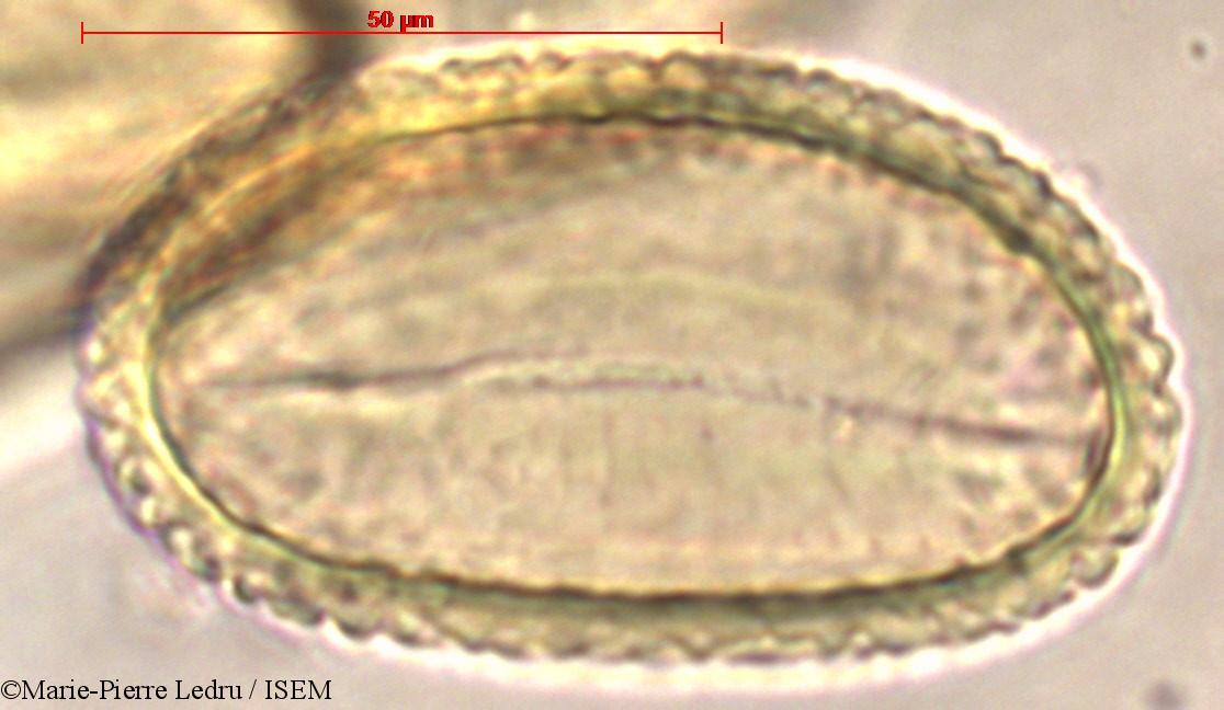 Marie-Pierre.Ledru/Psilotum_triquetrum_80278/Psilotum_triquetrum_80278_0004(copy).jpg