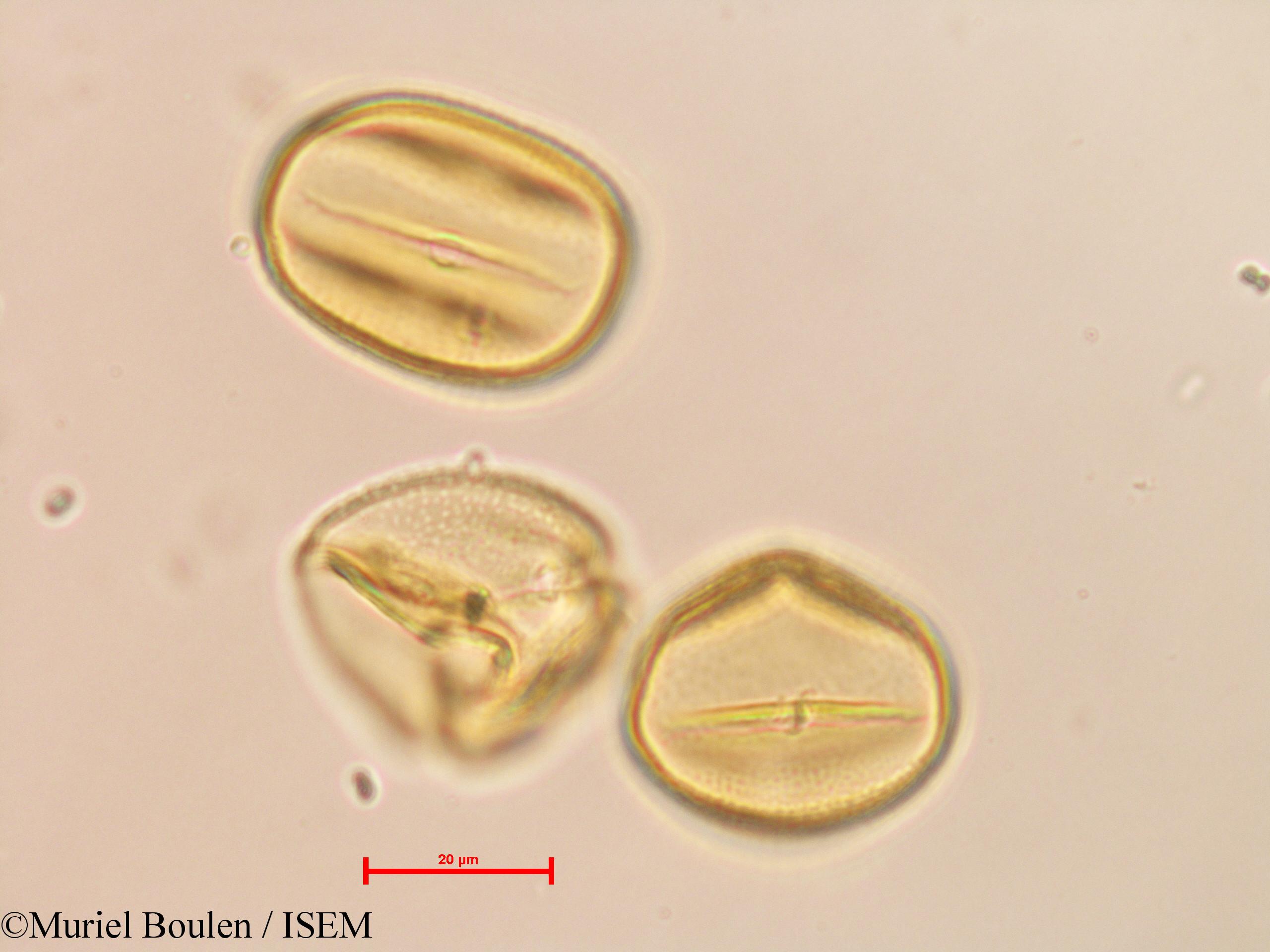 Muriel.Boulen/Phaseolus_pauciflorus_26414/Phaseolus_pauciflorus_26414_0003(copy).jpg
