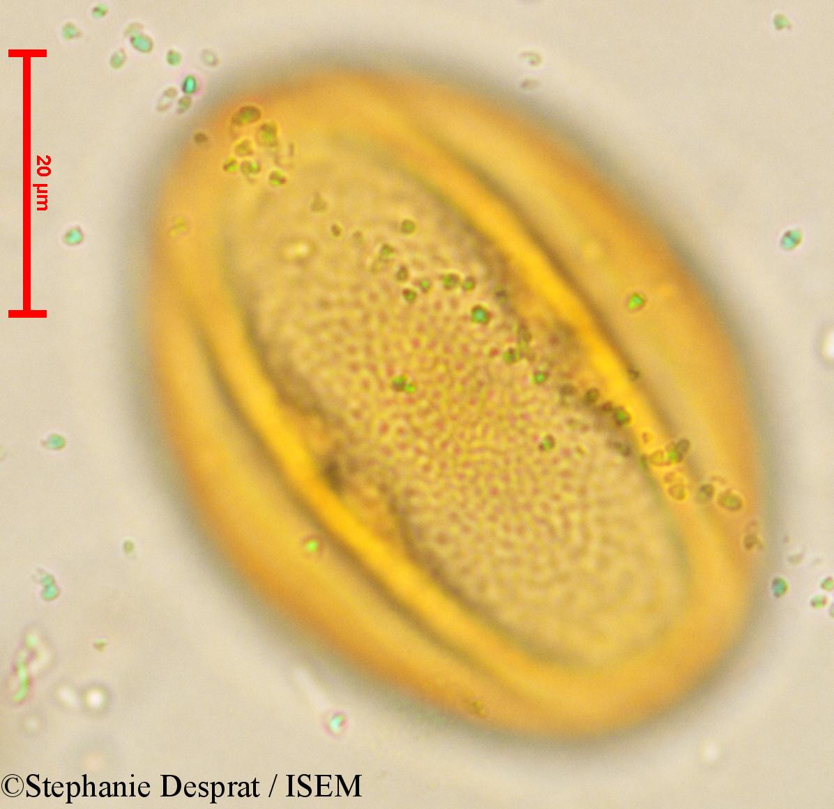 Stephanie.Desprat/Cissus_quadrangularis_4063/Cissus_quadrangularis_4063_0001(copy).jpg