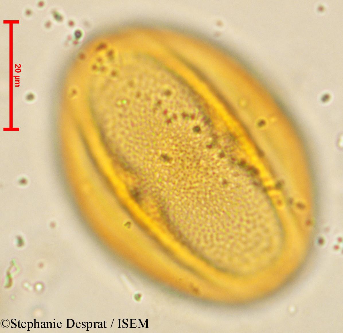 Stephanie.Desprat/Cissus_quadrangularis_4063/Cissus_quadrangularis_4063_0002(copy).jpg
