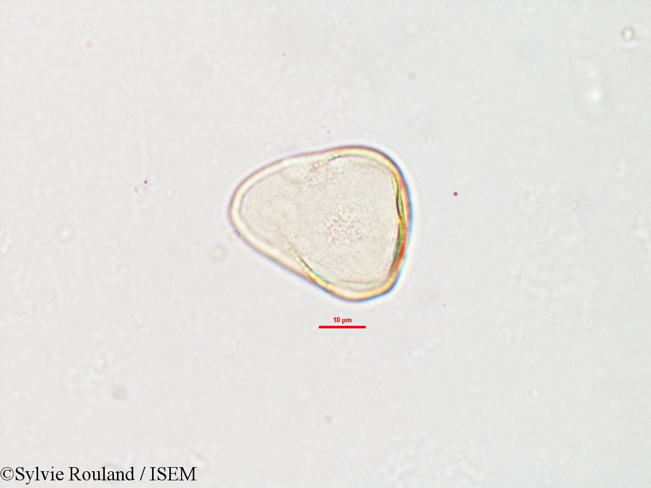 Sylvie.Rouland/Carex_pyramidalis_2609/Carex_pyramidalis_2609_0002(copy).jpg