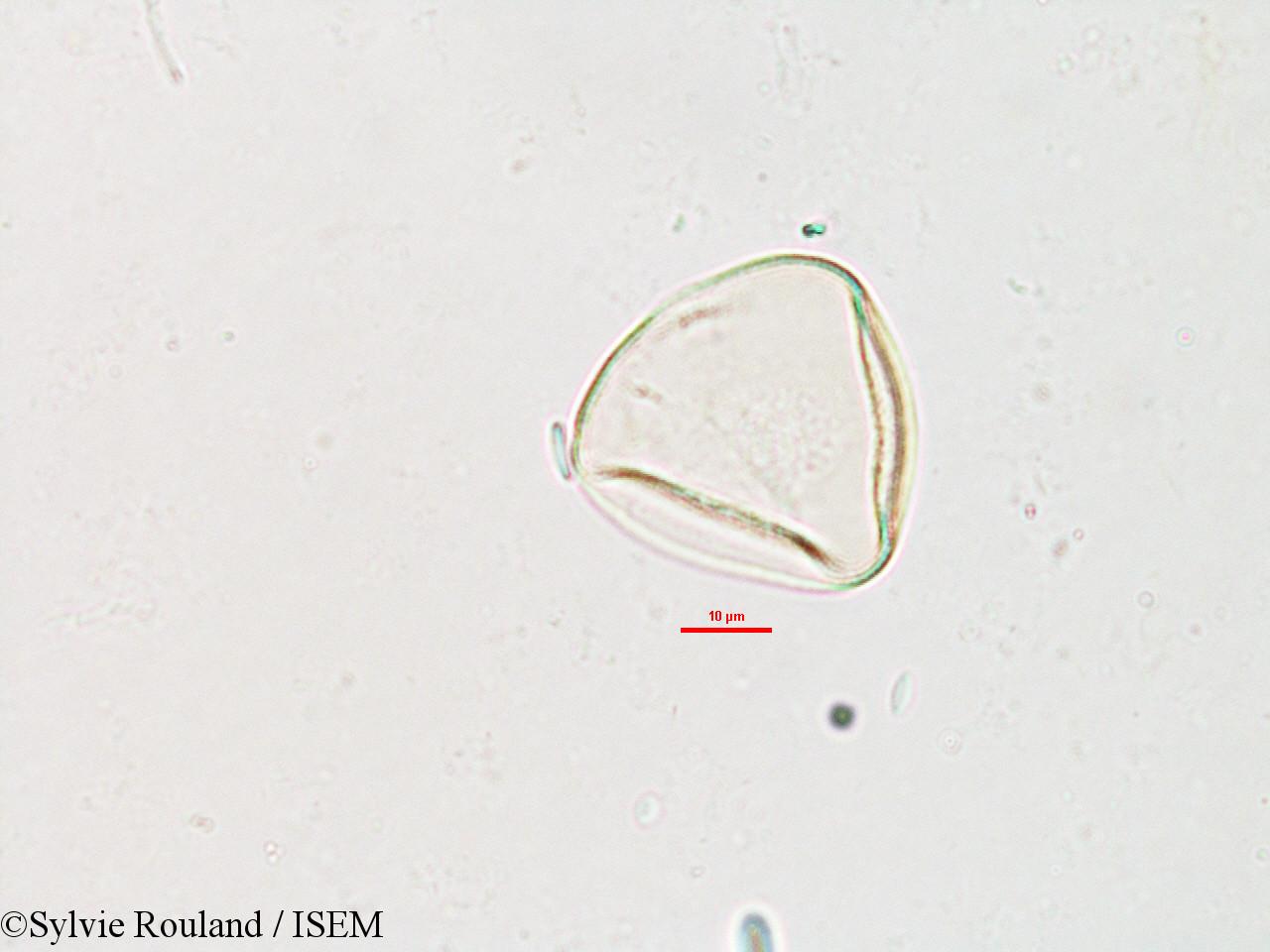 Sylvie.Rouland/Carex_pyramidalis_2609/Carex_pyramidalis_2609_0004(copy).jpg