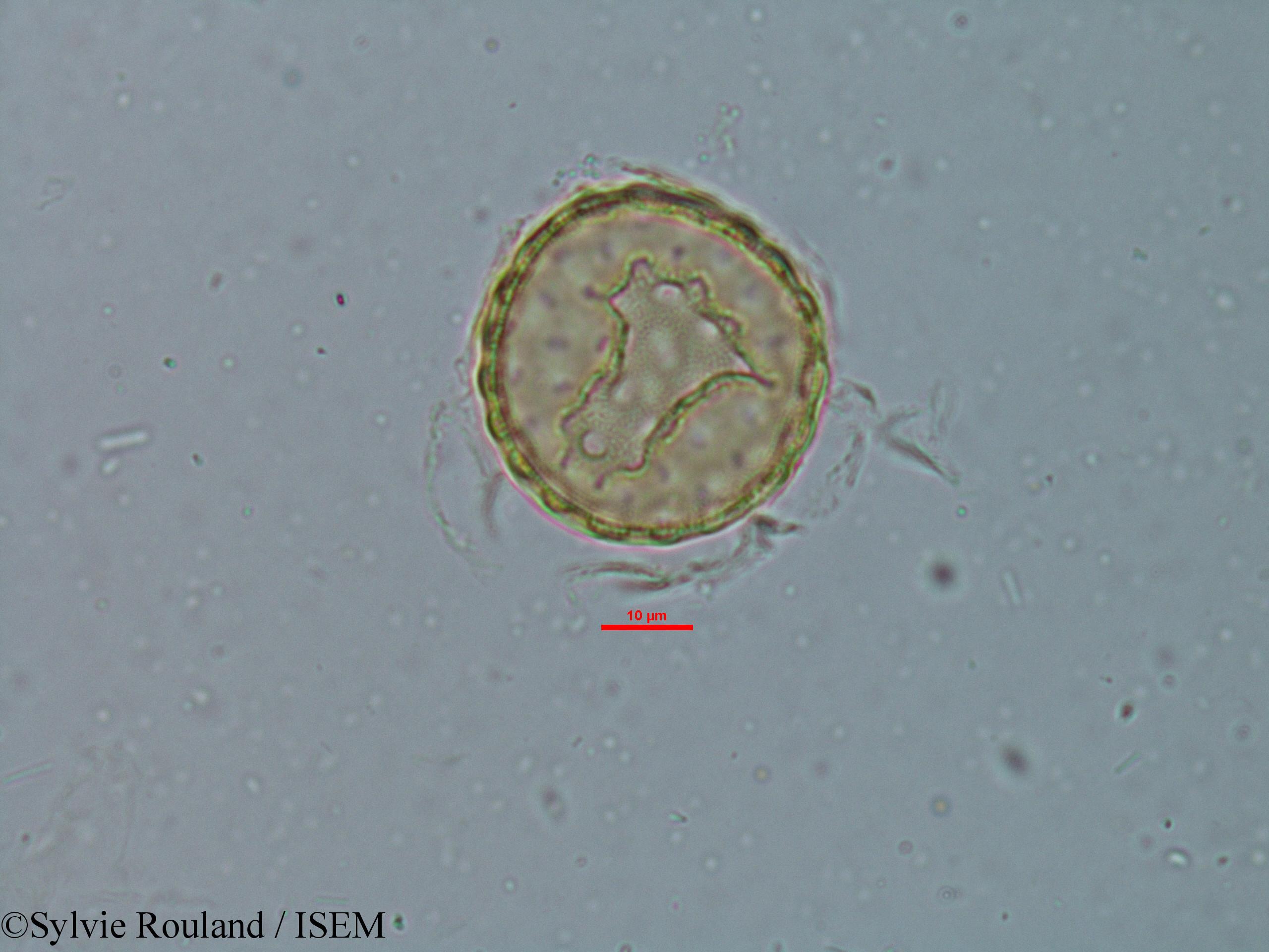 Sylvie.Rouland/Chenopodium_ambrosioides_6149/Chenopodium_ambrosioides_6149_0003(copy).jpg