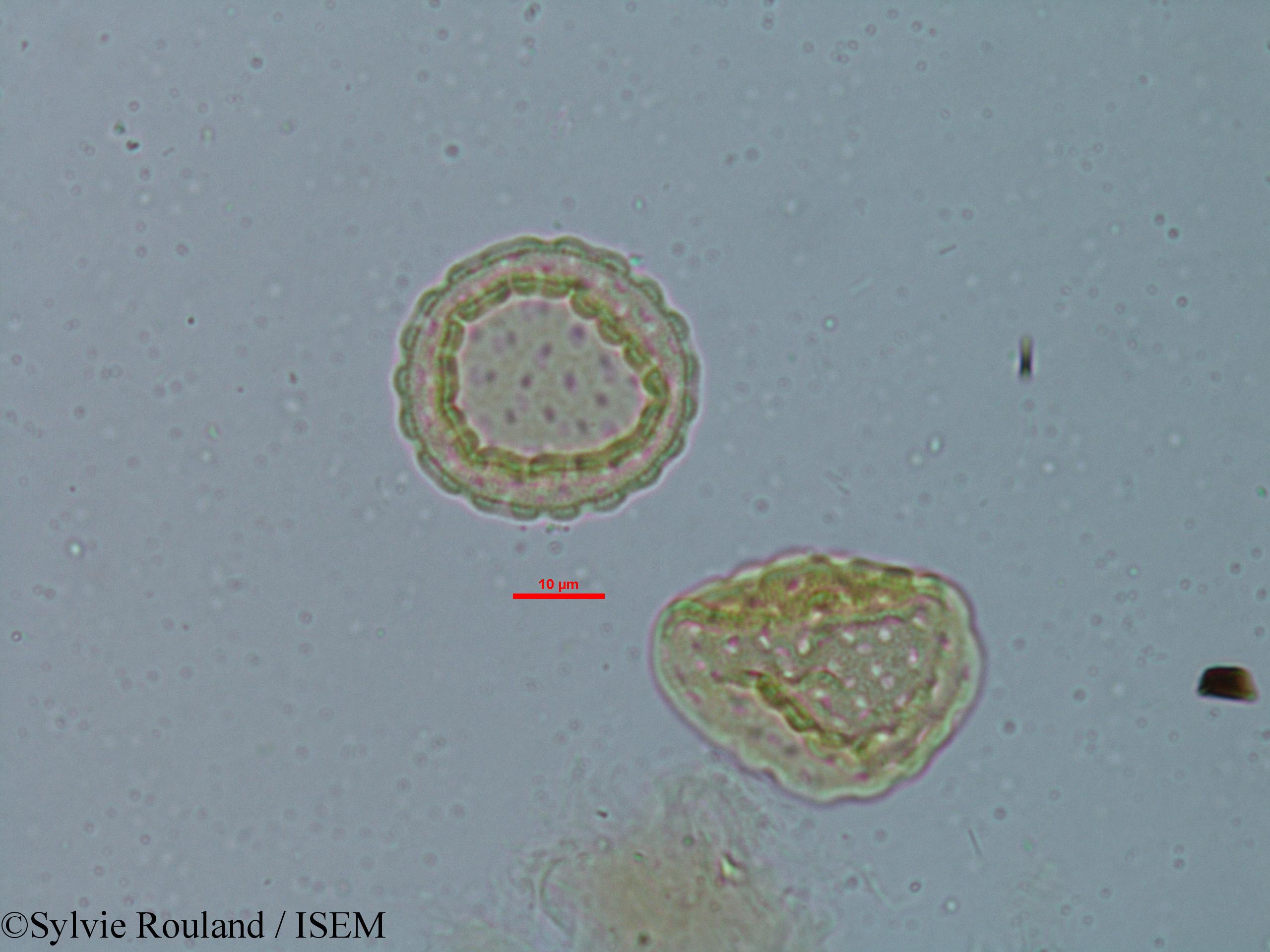 Sylvie.Rouland/Chenopodium_ambrosioides_6149/Chenopodium_ambrosioides_6149_0006(copy).jpg