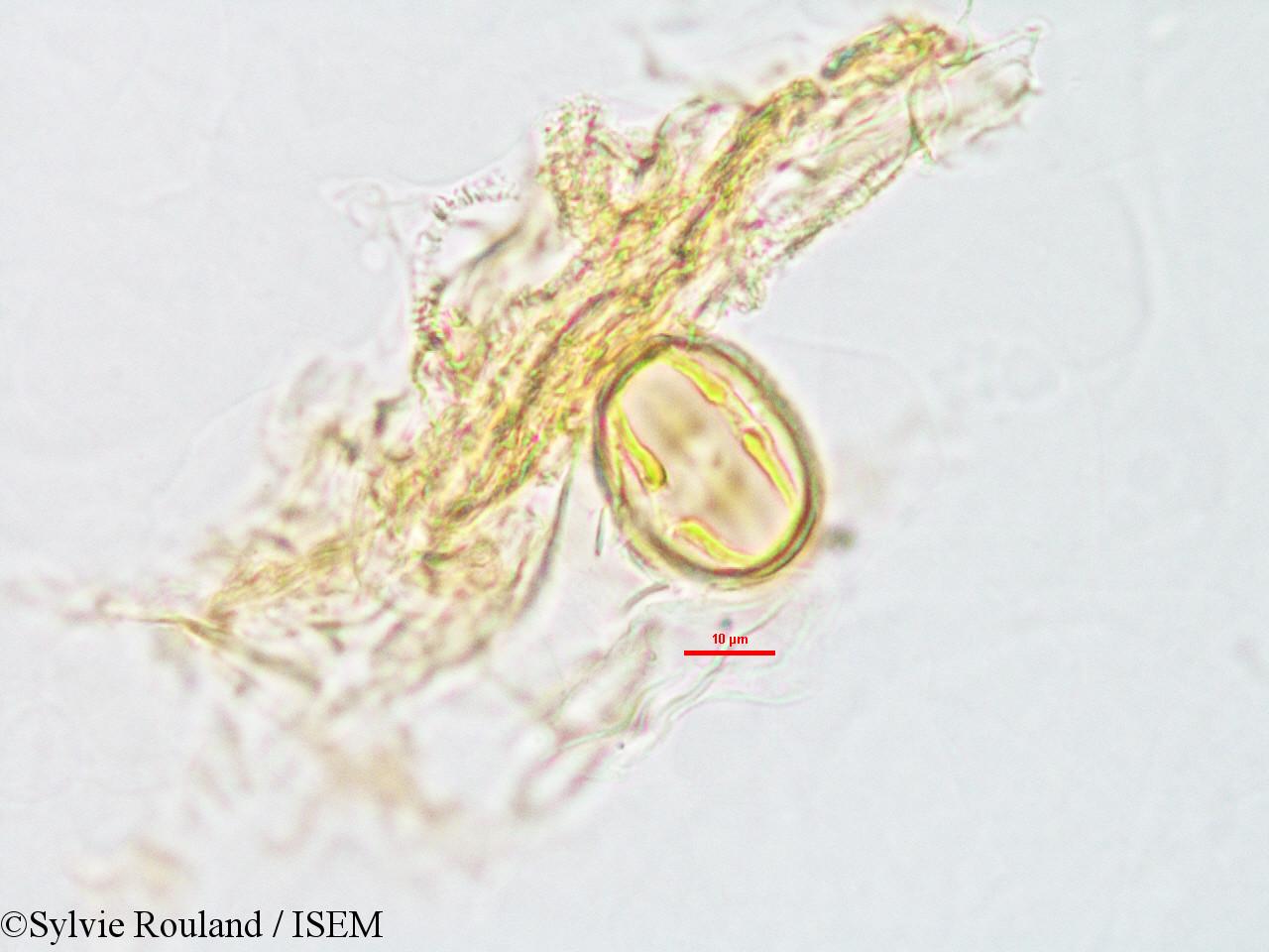 Sylvie.Rouland/Dalbergia_retusa_2829/Dalbergia_retusa_2829_0003(copy).jpg