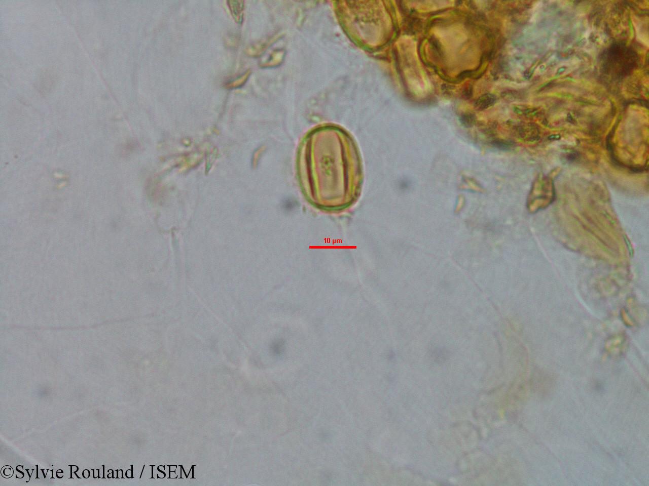 Sylvie.Rouland/Gravesia_laxiflora_1521/Gravesia_laxiflora_1521_0003(copy).jpg