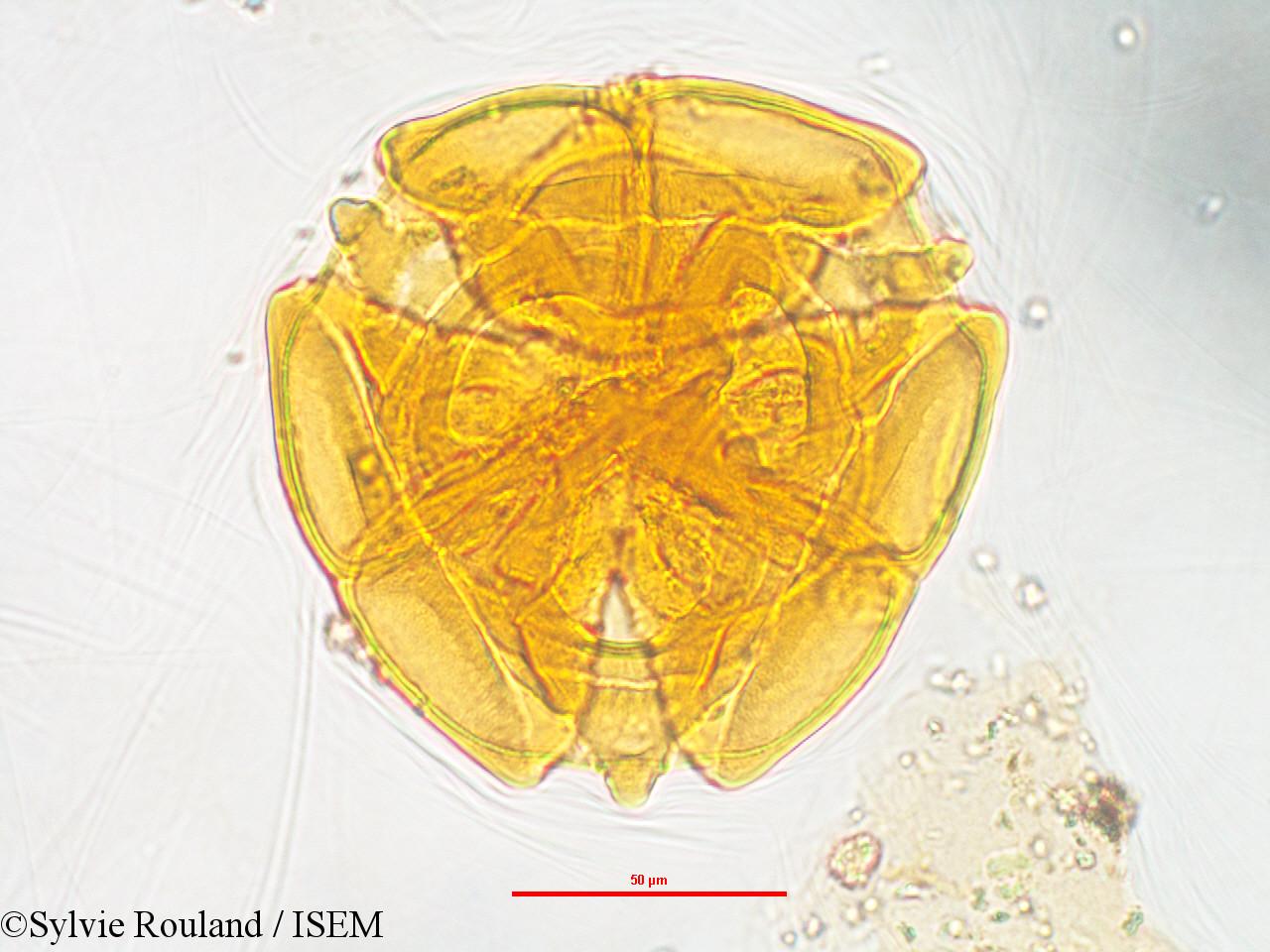Sylvie.Rouland/Sarcolaena_multiflora_3245/Sarcolaena_multiflora_3245_0007(copy).jpg