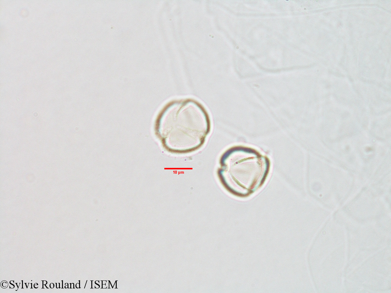 Sylvie.Rouland/Streptocarpus_paniculatus_3070/Streptocarpus_paniculatus_3070_0001(copy).jpg