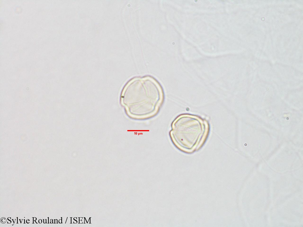 Sylvie.Rouland/Streptocarpus_paniculatus_3070/Streptocarpus_paniculatus_3070_0002(copy).jpg