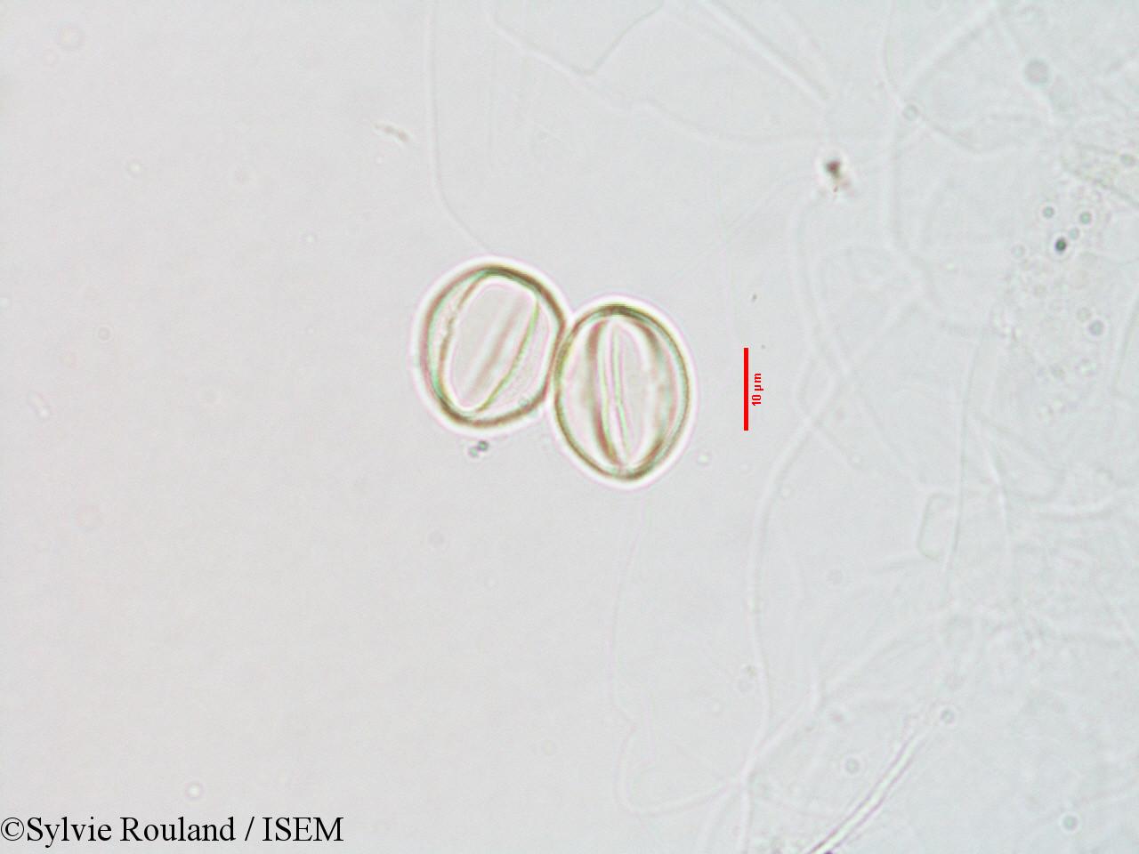 Sylvie.Rouland/Streptocarpus_paniculatus_3070/Streptocarpus_paniculatus_3070_0005(copy).jpg