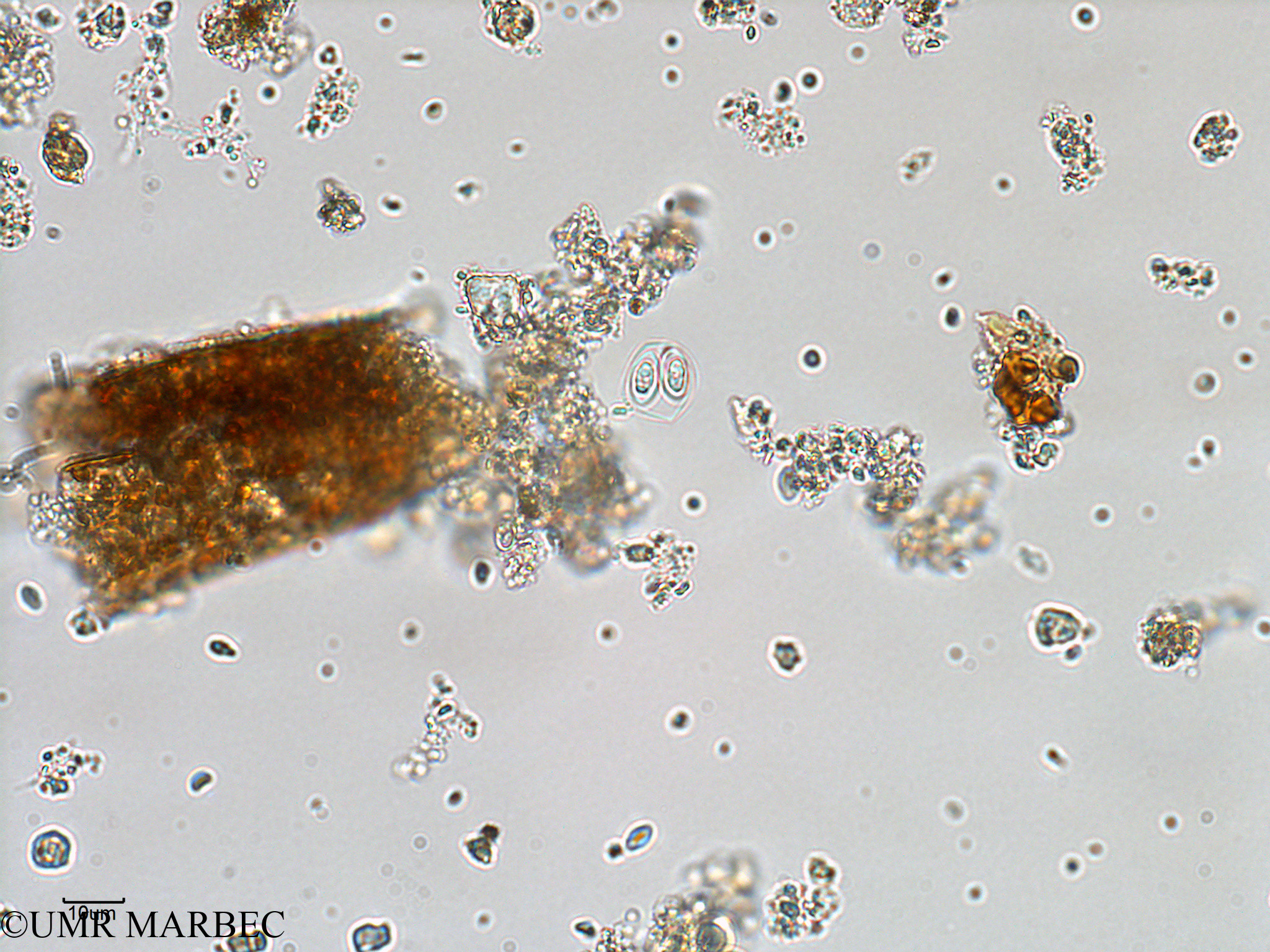 phyto/Bizerte/bizerte_bay/RISCO February 2015/Oocystis sp (ancien Baie_T1-A_oocystis-12).tif(copy).jpg