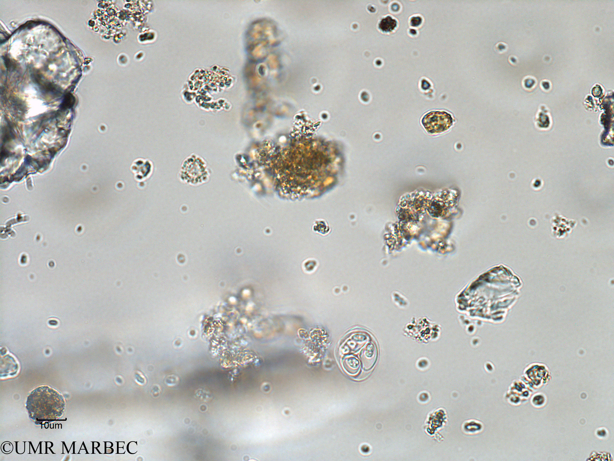 phyto/Bizerte/bizerte_bay/RISCO February 2015/Oocystis sp (ancien Baie_T1-A_oocystis-4).tif(copy).jpg