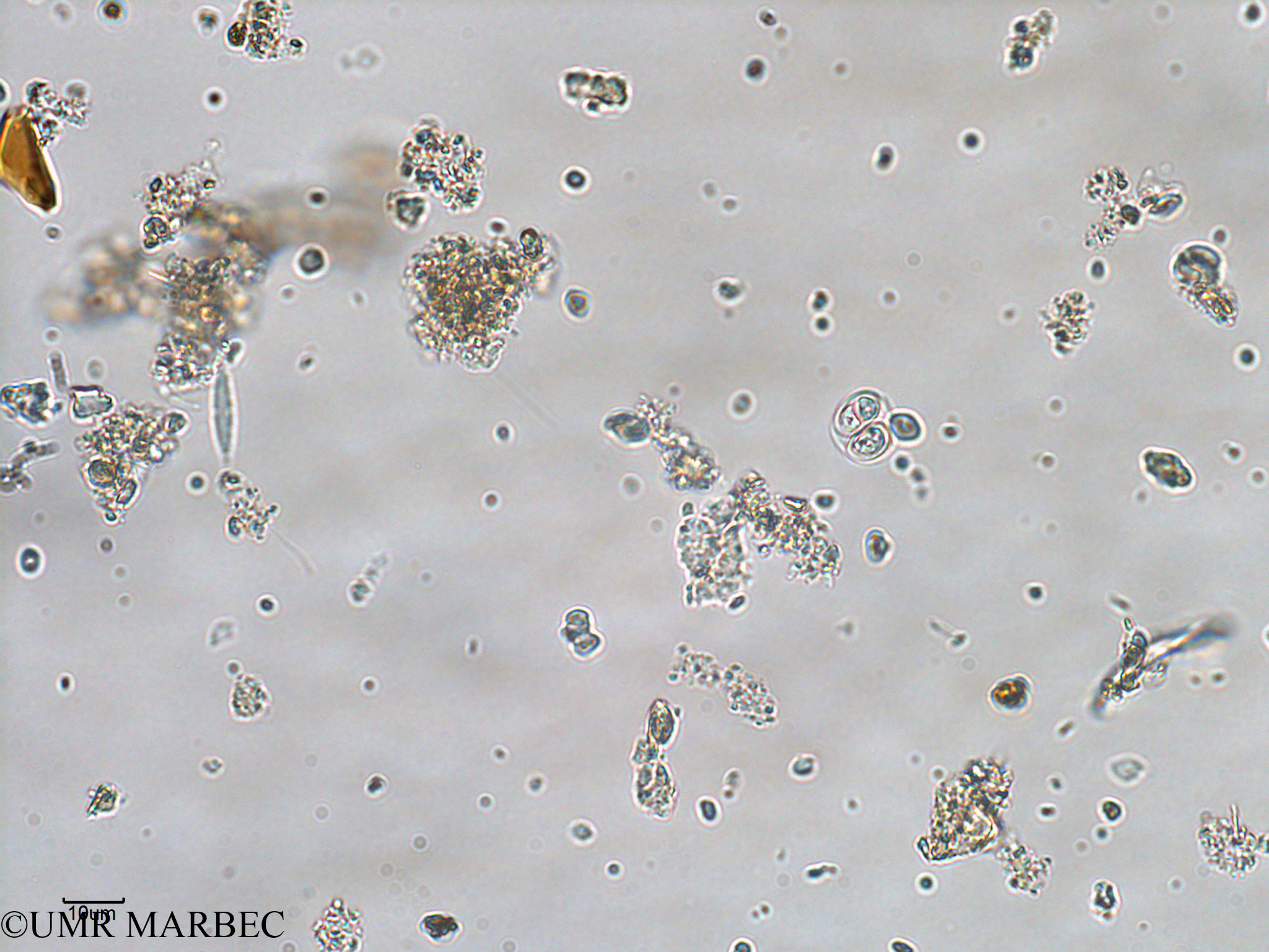 phyto/Bizerte/bizerte_bay/RISCO February 2015/Oocystis sp (ancien Baie_T1-A_oocystis-8).tif(copy).jpg