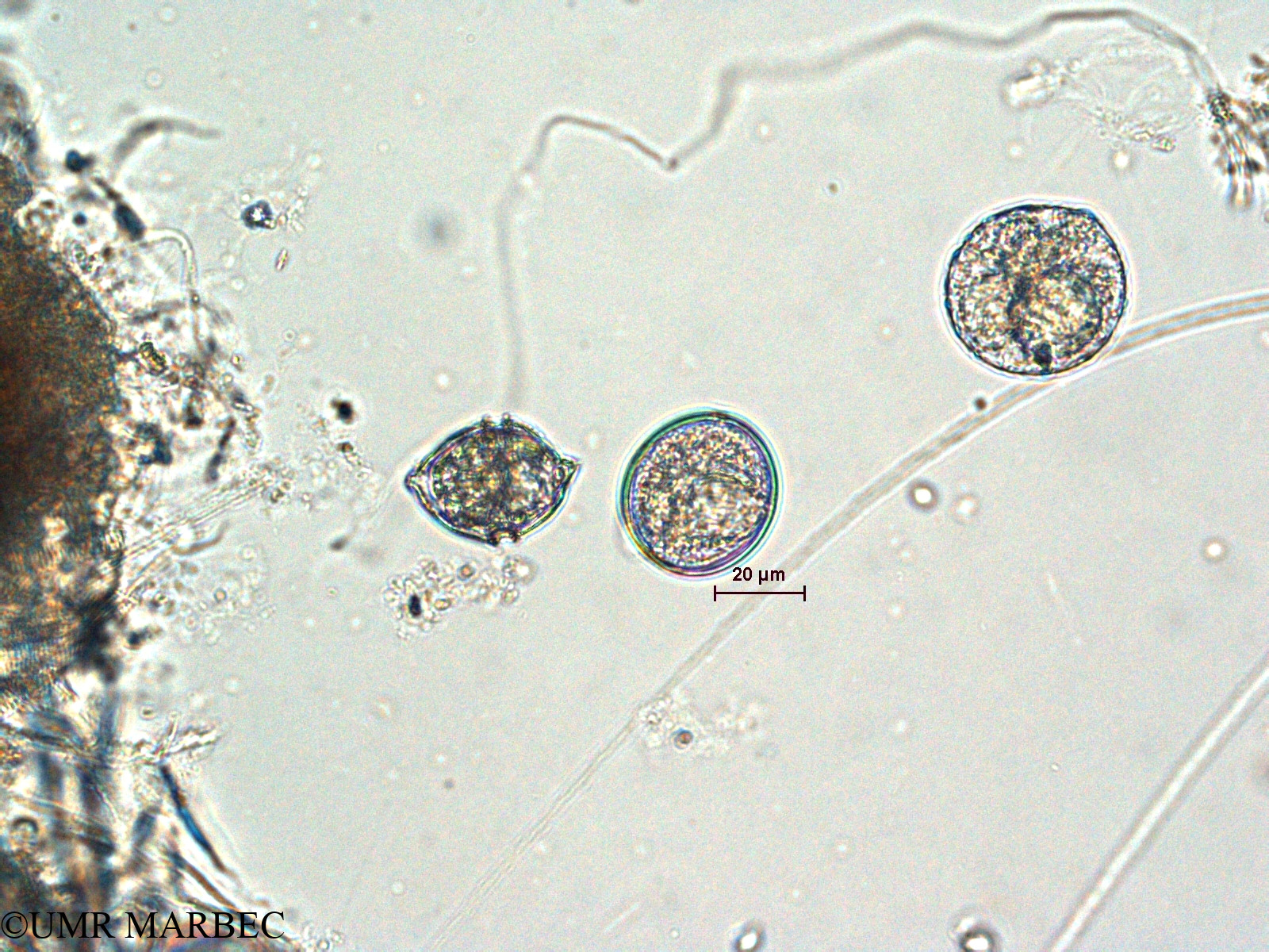 phyto/Scattered_Islands/all/COMMA April 2011/Amphidoma nucula (ancienHeterocapsa triquetra- H. Heterocapsa sp1 > Amphidoma sp2)(copy).jpg