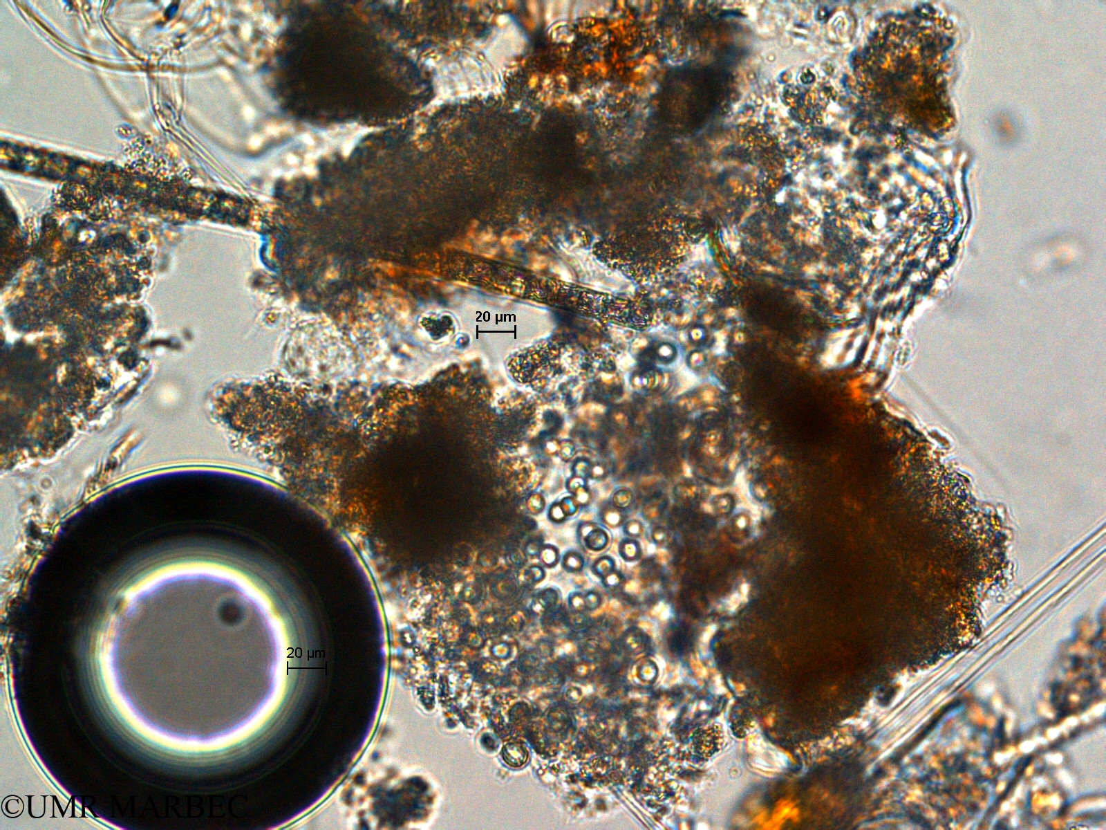 phyto/Scattered_Islands/europa/COMMA April 2011/Aphanocapsa sp5 (ancien Chroococcus sp2 -1)(copy).jpg