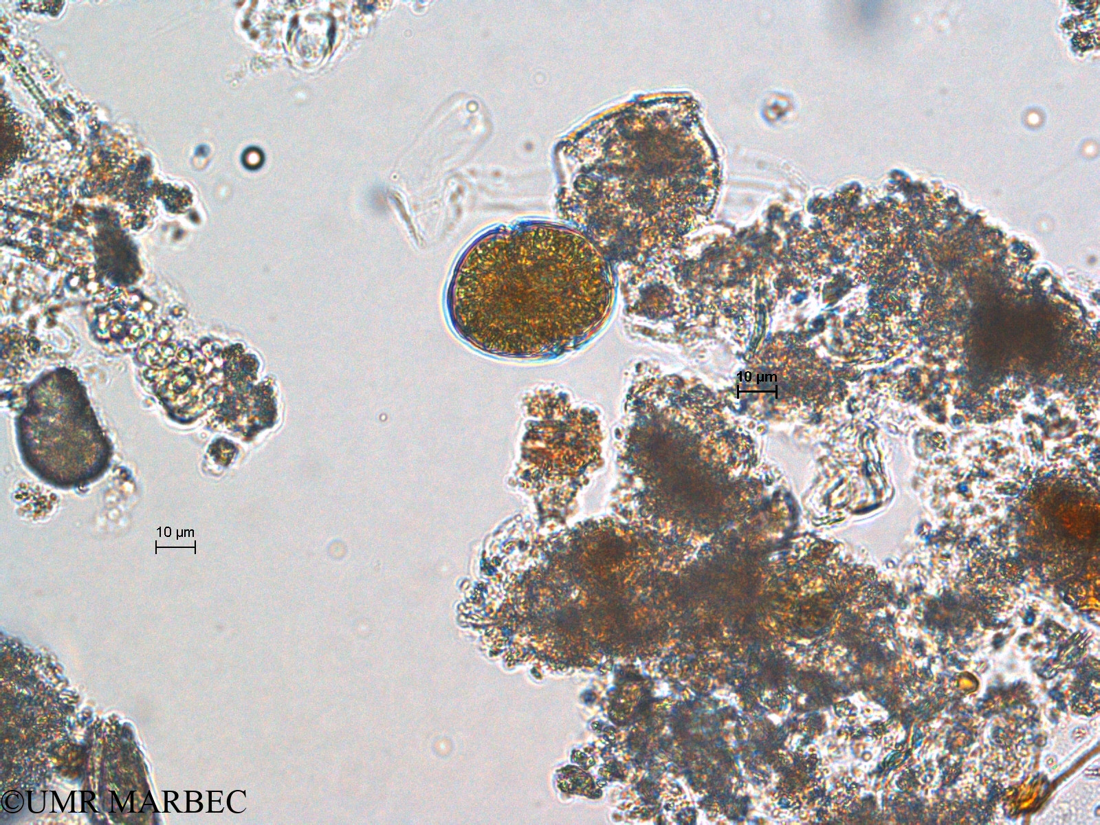 phyto/Scattered_Islands/europa/COMMA April 2011/Gymnodinium sp2 (ancien Dino s -3)(copy).jpg