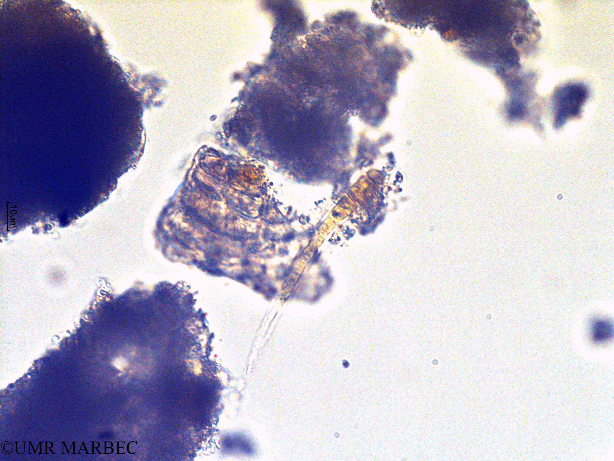 phyto/Scattered_Islands/europa/COMMA April 2011/Planktothrix sp (4.tif)(copy).jpg
