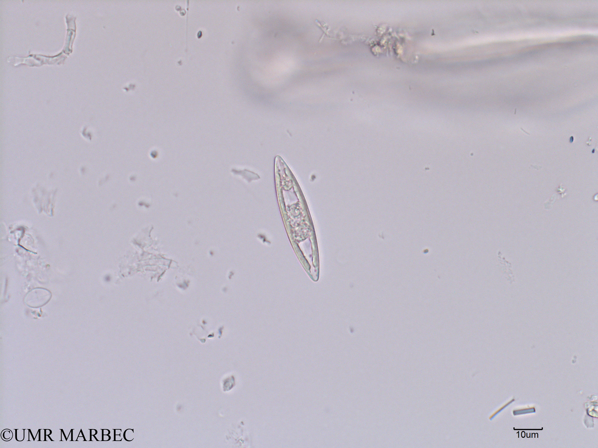 phyto/Scattered_Islands/iles_glorieuses/SIREME May 2016/Navicula sp2 (old Pennée spp 5-10x50-100µm -SIREME-Glorieuses2016-GLO5surf-191016-Pennée spp 5-10x50-100µm-10 -8)(copy).jpg
