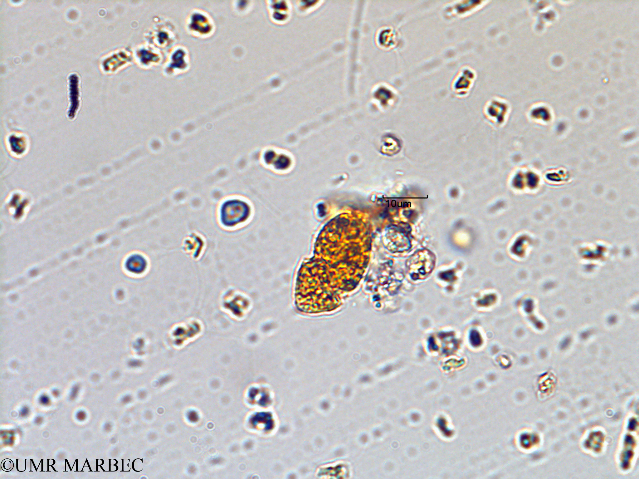 phyto/Scattered_Islands/juan_de_nova/COMMA2 November 2013/Katodinium sp (ancien Gyrodinium -1).tif(copy).jpg