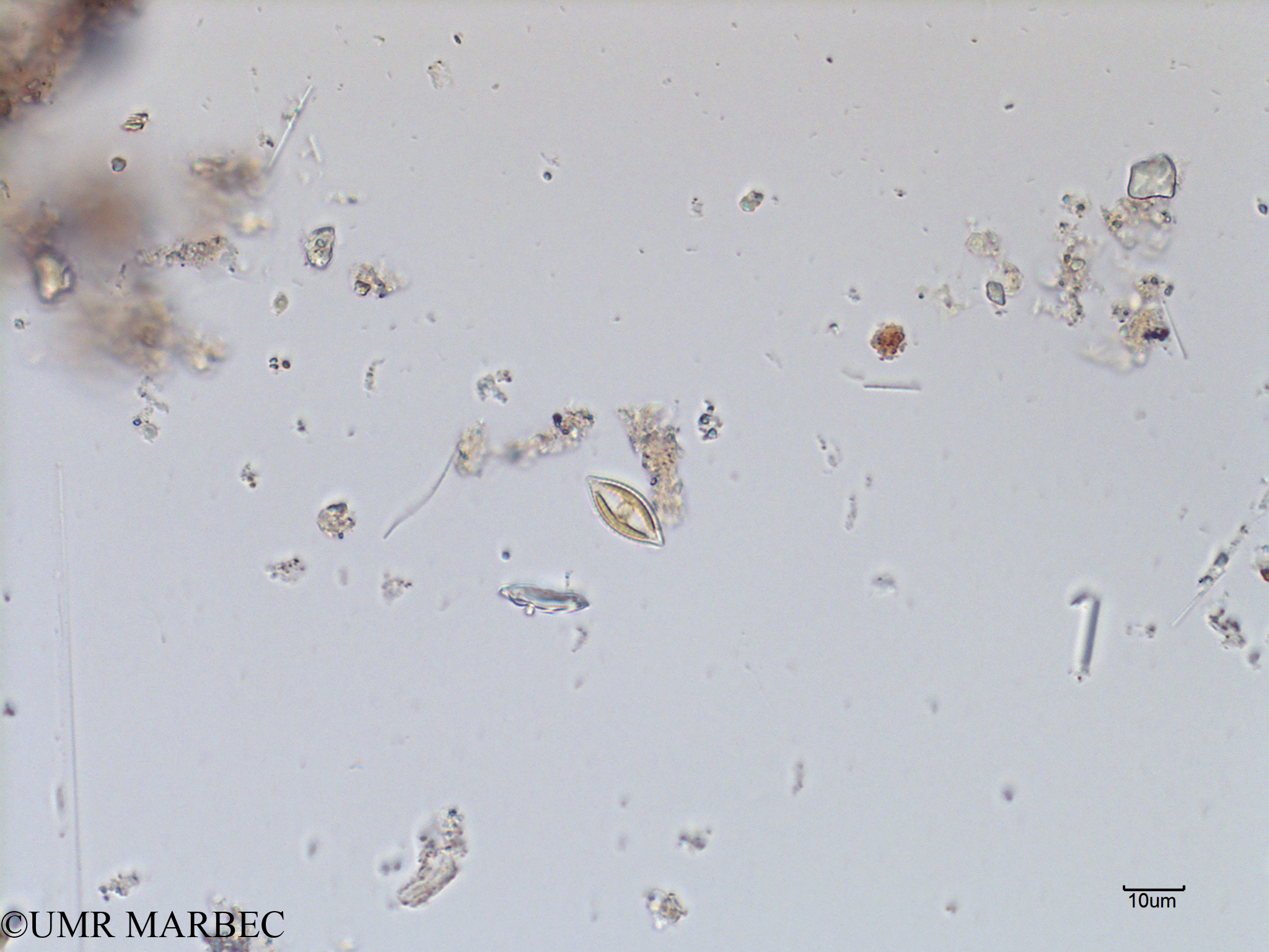 phyto/Scattered_Islands/mayotte_lagoon/SIREME May 2016/Navicula sp15 (MAY4_pennee petite b-2).tif(copy).jpg
