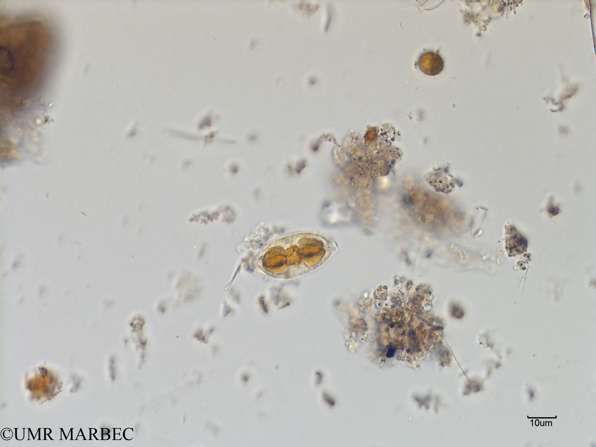 phyto/Scattered_Islands/mayotte_lagoon/SIREME May 2016/Navicula sp16 (MAY4_pennee a identifier-4).tif(copy).jpg