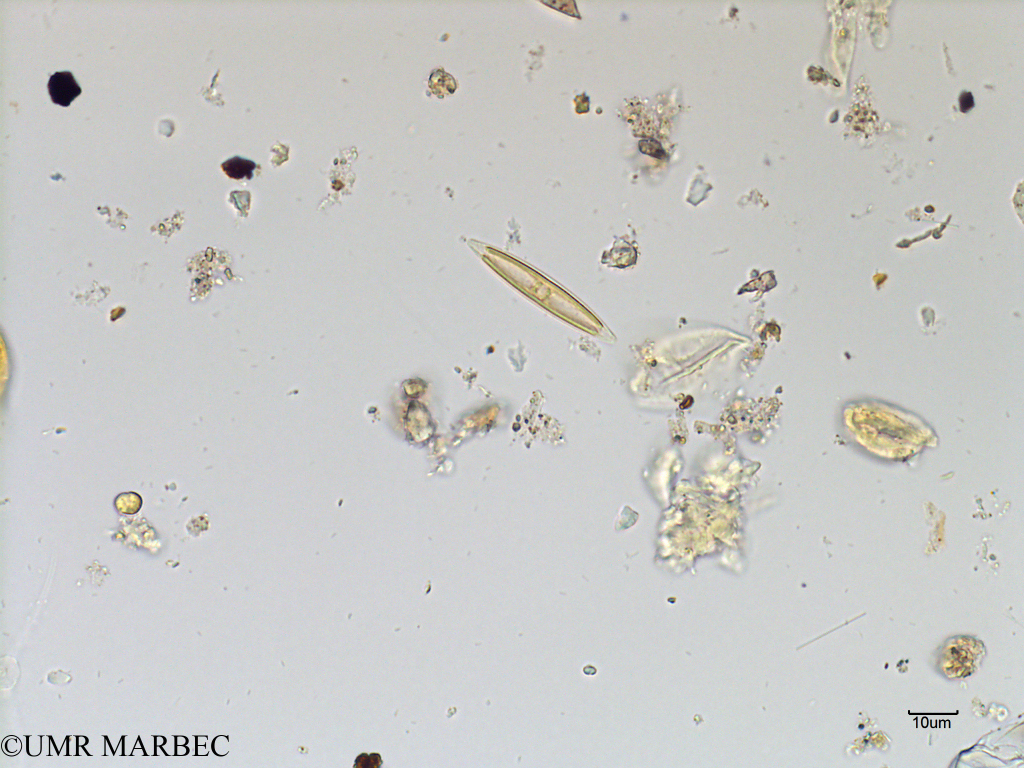 phyto/Scattered_Islands/mayotte_lagoon/SIREME May 2016/Navicula sp2 (MAY2_navicula).tif(copy).jpg
