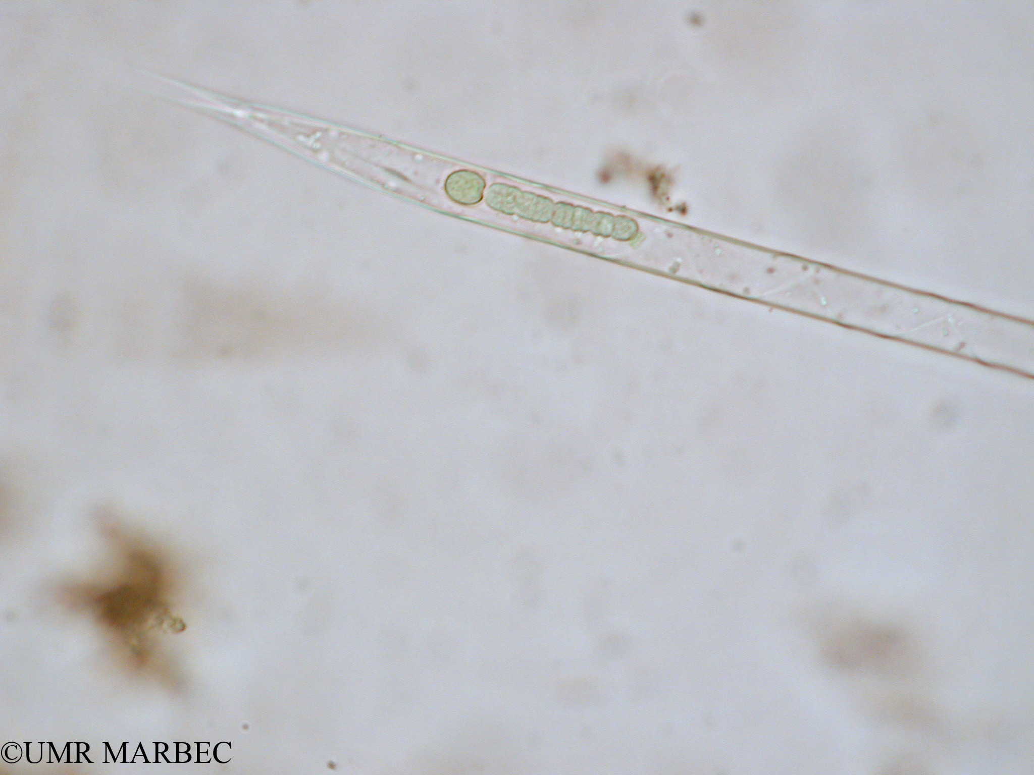 phyto/Tulear Lagoon/all/ICAR2 Avril 2008/Rhizosolenia hebetata (Rhizosolenia sp3 x1.5x40 b)(copy).jpg